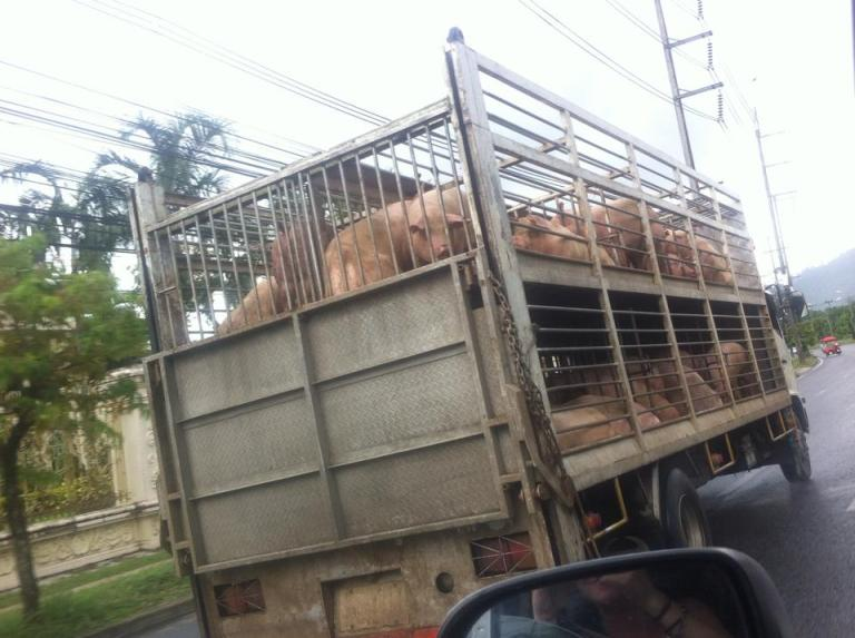 Truck loaded with pigs.